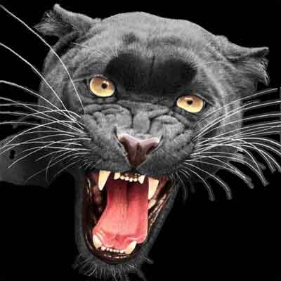 snarling-panther