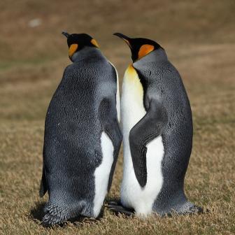 Gentoo penguins on the Falklands.