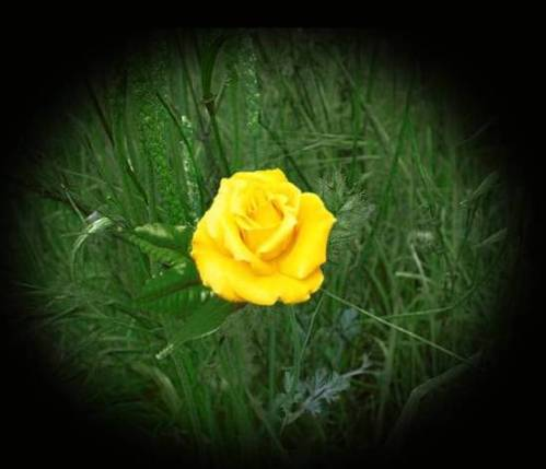A_Yellow_Rose_Wallpaper_by_midnightstouch