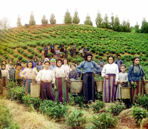 Workers harvesting tea, ca. 1907-1915.