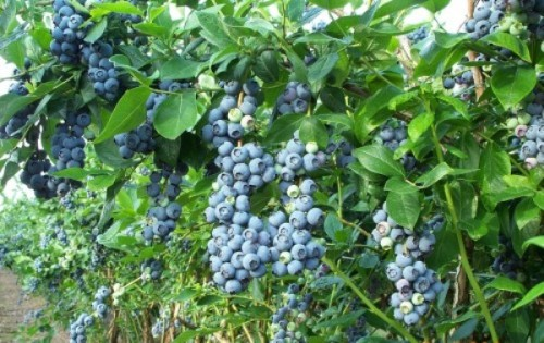 Blueberry_Bush-500x331