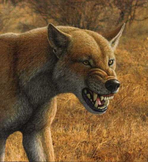 An artist's rendition of the extinct Borophagus secundus canine from the late Miocene Epoch in North America displays the animal's large dentition and low-angled skull that allowed it to engage in bone-crushing of its prey.  Courtesy Mauricio Antón.