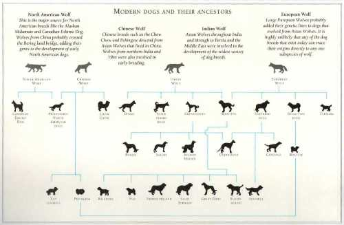 Basic evolutionary tree of modern dogs from their wolf ancestors.