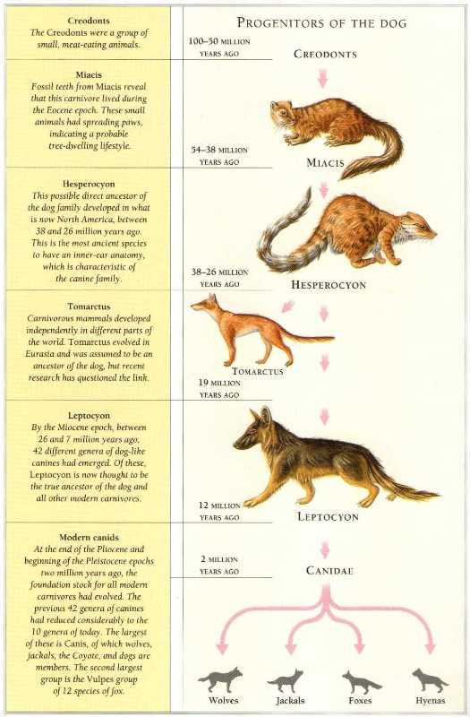 Basic evolutionary tree of canines.